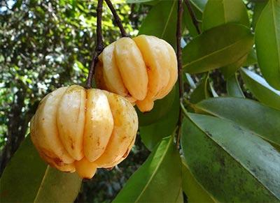 owoc Garcinia Cambogia